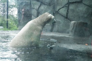 I swear this polar bear has OCD it kept swimming then going up like that and bobbing its head