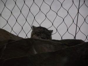 Spot the snow leopard.
