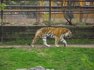 This female tiger is on loan from the Minnesota Zoo for breeding... she was pacing a little... we were wondering if it was man troubles... I could just see her grumbling under breath - stupid tiger thinking I would just clean his fur and be all in love.. wine me, dine me man.