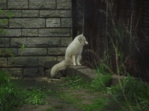 Arctic Foxes look like toys,  Echo and Nathan were in love.