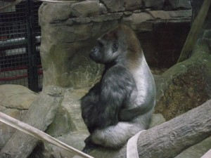 Such a stately gorilla.