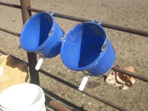 For Feeding the Calves